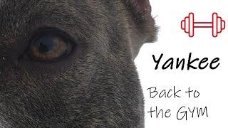 Super American Staffordshire Terrier - Dog GYM - #amstaffyankee