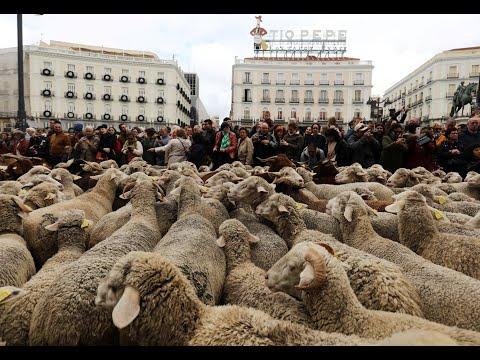 الأغنام تحتل شوارع مدريد في تقليد سنوي  - نشر قبل 44 دقيقة