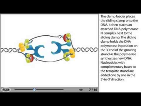 DNA Replication Animation - initiation, elongation and termination