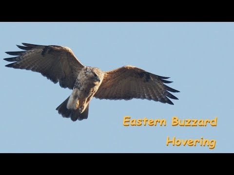 Eastern Buzzard Hovering ノスリ 夕暮れホバリング 中部の山 10月初旬 野鳥FHD 空屋根FILMS#1104
