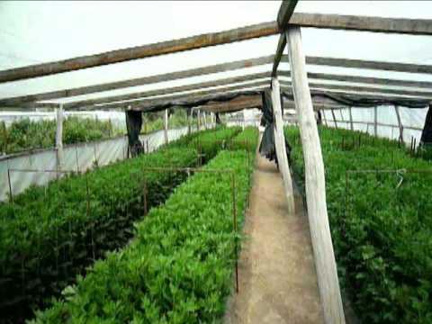 Выращивание хризантемы Часть 6