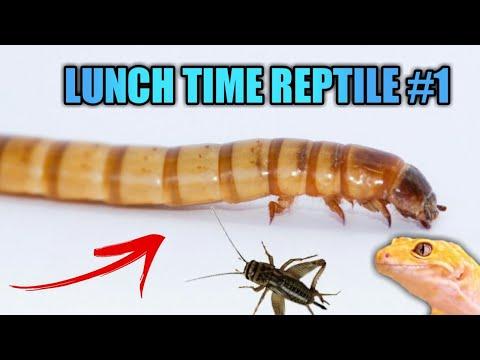 Вопрос: Как кормить рептилий сверчками?