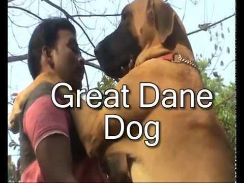 Great Dane Dog.