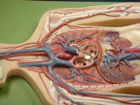 Anatomy Human Veins Model Youtube