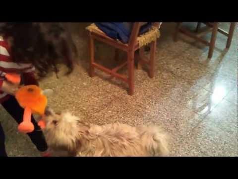 Китайская хохлатая собака, голая и пуховая пуховка