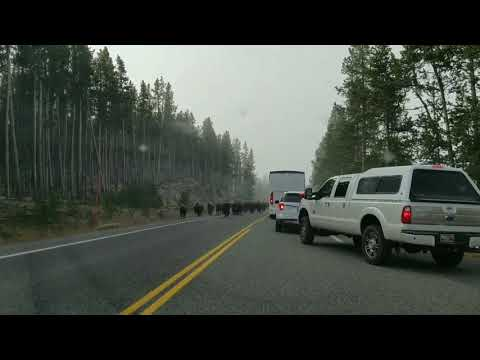 Large Herd of Bison Roaming | Yellowstone National Park