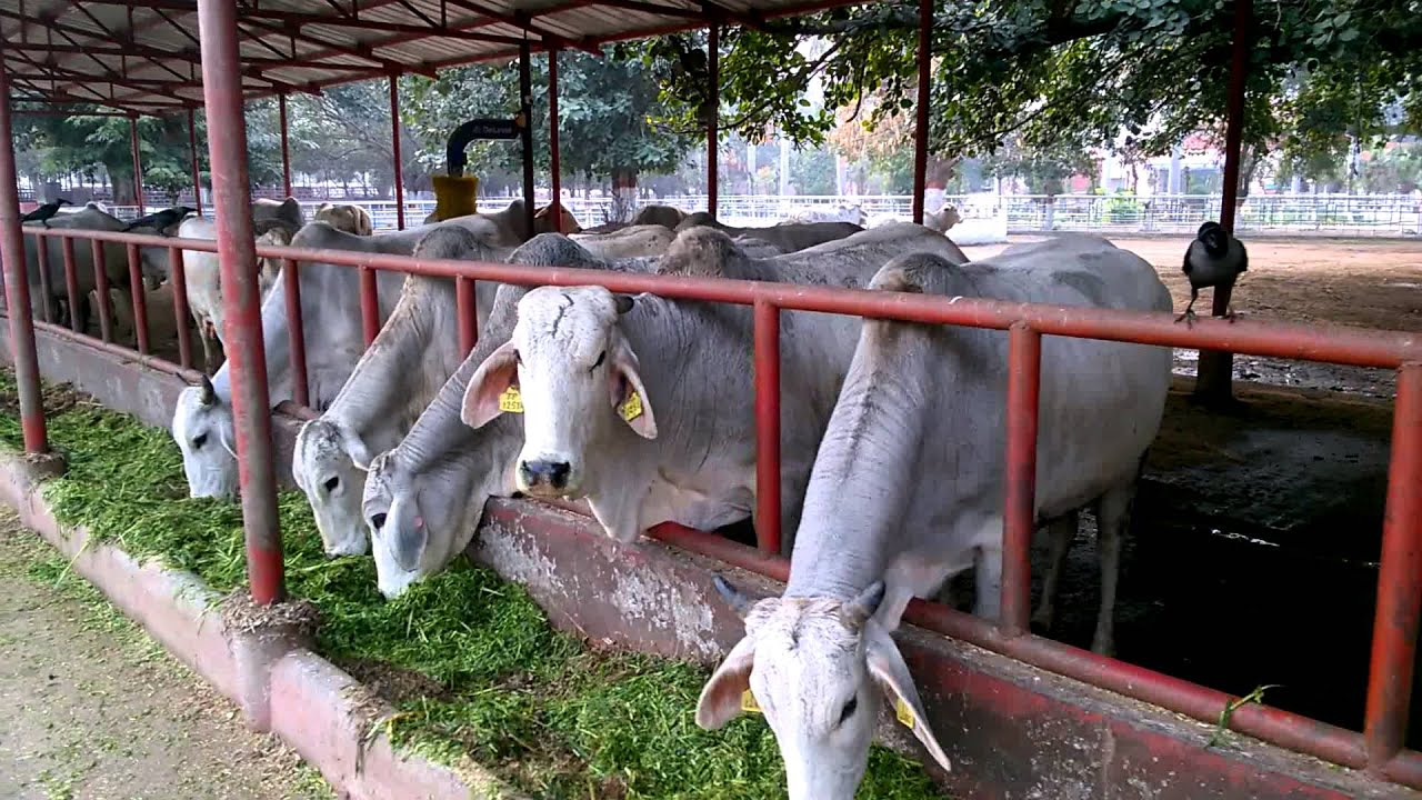 Tharparkar Cows Most Disease Resistant Cattle Breed Of India 2 At Organized Farm