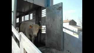 Zilio livestock transport  transport betaillere  trasporto bestiame