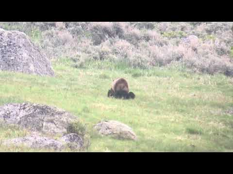GRIZZLY MOM AND CUBS YELLOWSTONE