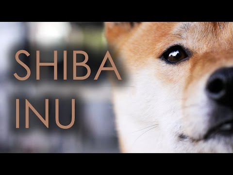 SHIBA-INU - JAPANESE OLDEST BREED OF DOG