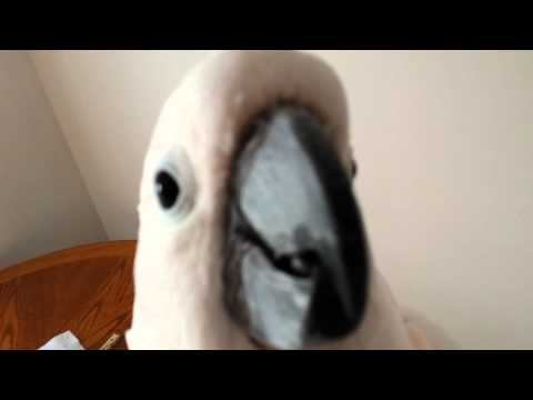 Thumbnail: Argue With A Cockatoo