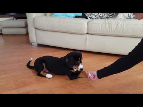 Puppy training - tricks: come when called, down, sit, stop, high five, give paw, go into crate