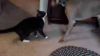 Cat Puts Weimaraner In His Place