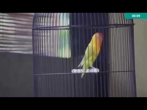 LOVEBIRD NGEKEK !! Lovebird RORO ngekek panjang Mp3