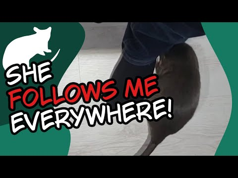 Gambian Pouched Rat Follows Owner EVERYWHERE