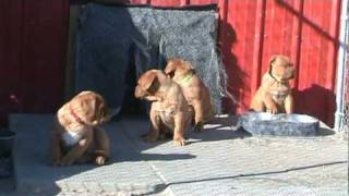 Dogue De Bordeaux, French Mastiff Puppies