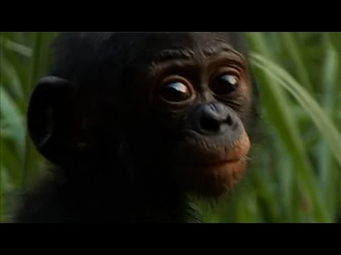 Bonobos Share With Each Other - They Need Our Help - Music - Electus - Just Believe