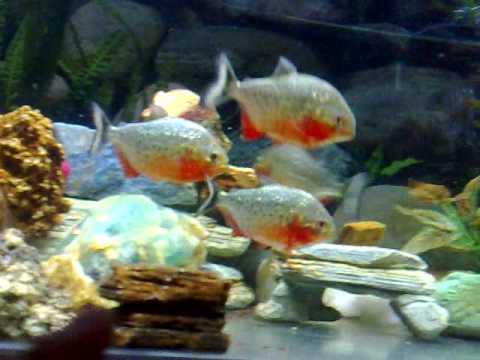 breeding piranhas | Doovi