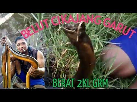 Om Boy Boy Sabara Macing Belut Besar 1klo 2 On(SABARA GARUT)