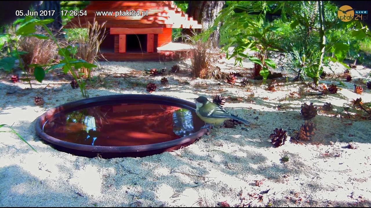 Bogatka pije wodę z pojemnika przed domkiem dla jeży