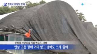 청백색 차광막으로 인삼 4배 수확 / YTN