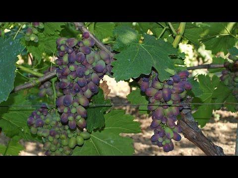 Виноград КАРМАКОД. Синий виноград
