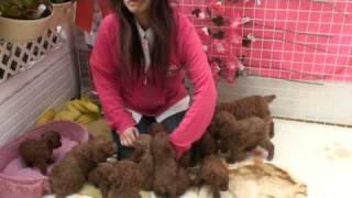 プードルハウス大阪犬舎で撮影。 子犬約20頭と親犬たち。ブリーダーなら...