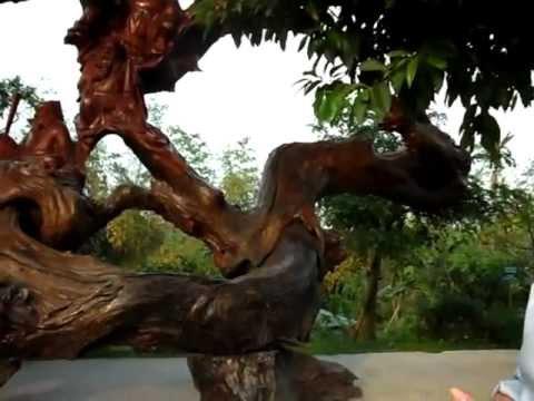 Bát tiên trên cây gỗ lũa lớn nhất Việt Nam