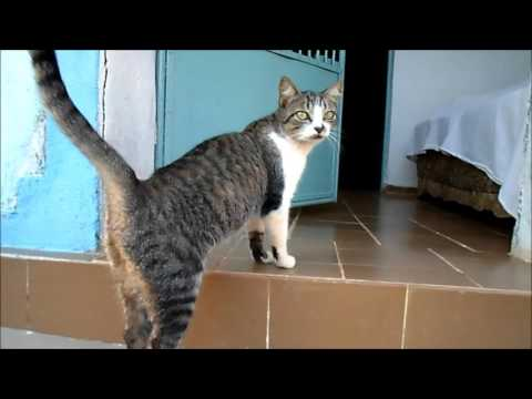 Typical Brazilian Shorthair Cat