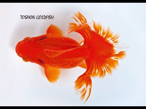 gold fish types and their names youtube