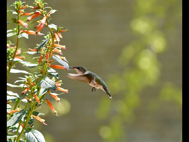 Belle Isle Nature Center | Backyard Bird Quick Tips: Hummingbird Feeders
