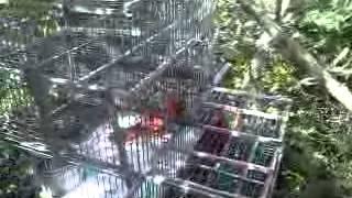 Cardenal pollo trampado