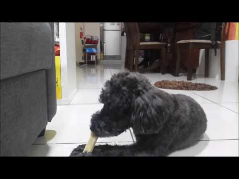 狗狗玩具#01:狗吃骨頭|dog Gnawing bones/eat/bite bones|狗吃骨頭