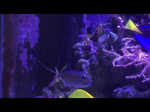Cleaner Shrimp Attempted To Clean Blue Throat Jaw Triggerfish
