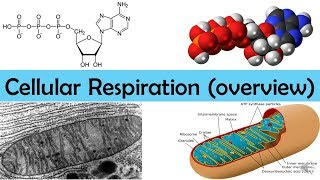 Cellular Respiration Overview (updated)