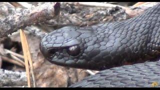 Укус змеи / укус гадюки что делать