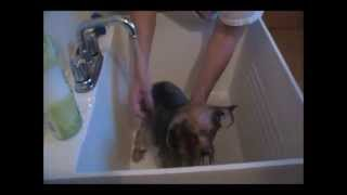 How To Give A Yorkie A Bath