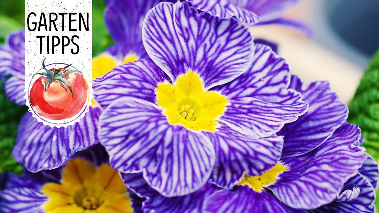 Dekorative Fruhlingsbepflanzung Mit Der Primel Nautilus Blue Vein
