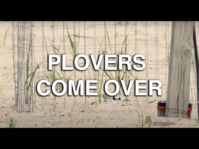 Plovers Come Over - Great Lakes Now - Episode 1026 - Segment 1