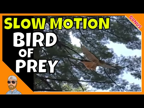 Slow Motion Hawk at Saratoga Spa State Park Recorded on iPhone 6 Plus