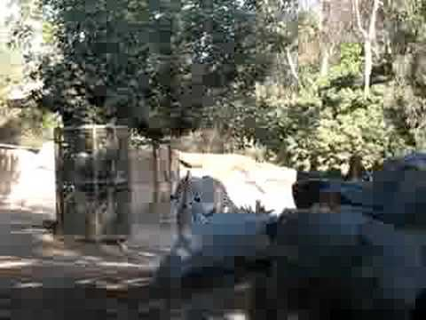 Zebras playing at the San Diego Zoo thumbnail