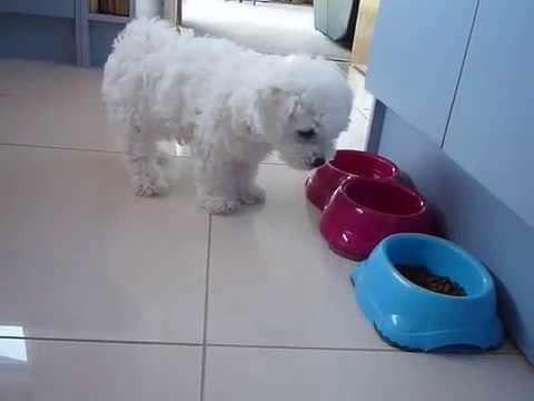 Bichon Frise Puppy: Bella have a meal