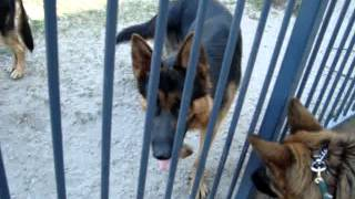 The Canine Classroom Dog Training - Banjo, Interacting Through Fence With Dogs Without Muzzle
