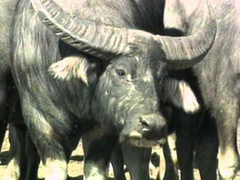 Deadly Australians Water Buffalo.mov