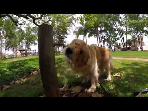 Dog Golden Retriever Bruce drinking water GoPro Hero4 Session Cachorro