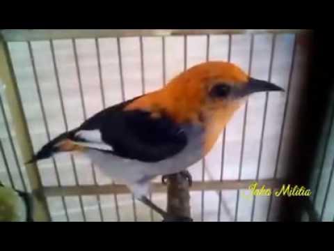 Suara Burung Cabe - Cabean