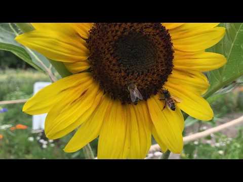 Sonnenblume auf dem Berliner Weltacker