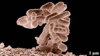 Escherichia coli | Wikipedia audio article