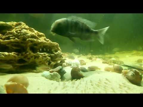 Мамаша Голубого Дельфина с мальком в общем аквариуме (нарезка)