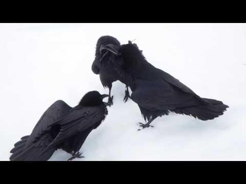 Raven Singing Trio